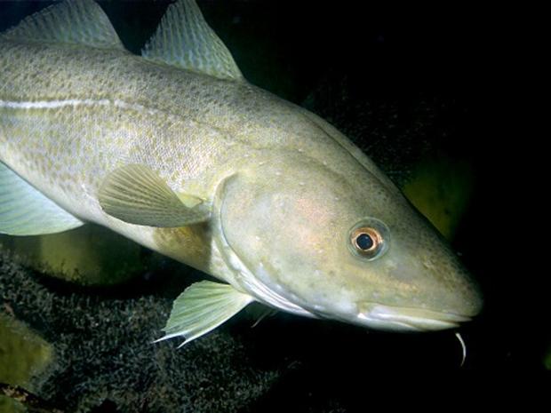 bacalhau01